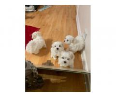 Fantastic Maltese puppies