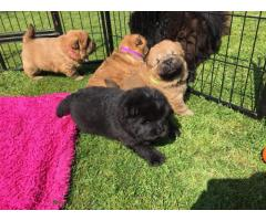 Stunning Chow Chow Puppies Available.