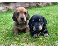 Miniature Dachshund Puppies Now for Adoption