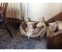 Beautiful West Highland Terriers Available