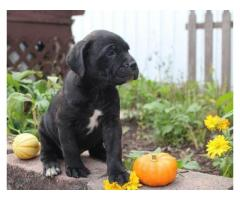 Charming Cane Corso Puppies