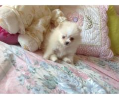 Two Awesome T-Cup Pomeranian Puppies.whatsaap me if interested:+237654340446