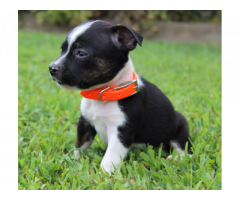 Boston terrier puppies male and female