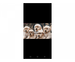 Golden Retriever puppies for adoption contact