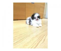 Wonderful Tiny Teacup Pomeranian Puppies Available for sale