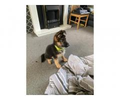 German Shephard puppies available